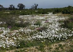 flower season in namaqualand Stepping Stones, South Africa, Vineyard, Seasons, Country, Outdoor Decor, Flowers, Plants, Home Decor