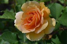 Apricot rose.