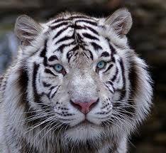 white tiger - Recherche Google