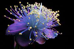 Craig Burrows baigne des fleurs de lumière ultra-violette et utilise un objectif qui élimine la lumière visible pour prendre ces photographies qui montrent les fleurs en train de briller de couleurs étranges.
