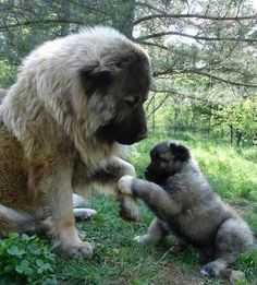 Leonberger and her pup.