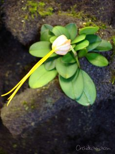 Masdevallia vexillifera - Orchids Interactive