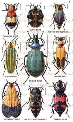 Escarabajos del insecto insectos rarezas - imagen Digital - Vintage arte ilustraciones - descarga inmediata
