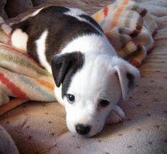 Henrik the Jack Russell Terrier