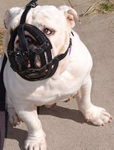#English #Bulldog #Leather Padded #Muzzle $29.90 | www.all-about-english-bulldog-dog-breed.com