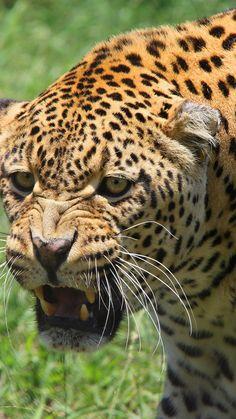 Tidy Cats, Samsung Galaxy Mini, Hd Backgrounds, Wallpapers, Asus Zenfone, Leopards, Predator, Animals Beautiful, Jaguar