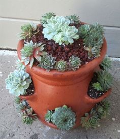 Using a strawberry pot for sempervivum and other succulents.