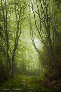 misty forest in the deep valleys of Vercors, French Alps