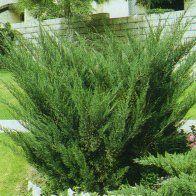 Emerald N Gold Euonymus Shrub An Evergreen Most Often