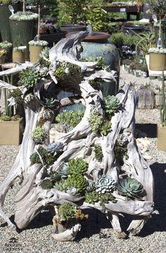26 propostas de jardins de suculentas ideais ao redor do mundo # Succulentgardenideas # Su - Garten Dekoration - Succulent Gardening, Cacti And Succulents, Planting Succulents, Organic Gardening, Dream Garden, Garden Art, Rain Garden, Driftwood Planters, Diy Planters
