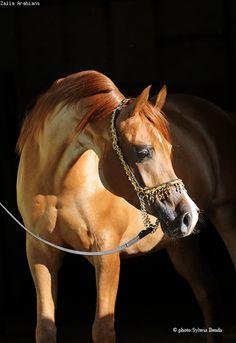 El Diora - Zalia Arabians - Hodowla Koni Arabskich
