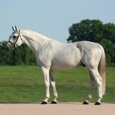 GK Calucci - Stallion at Stud - Holsteiner