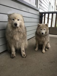 Two guilty little Samoyeds.