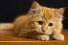 Orange kitten waiting and watching
