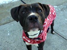 TO BE DESTROYED WED, 2/19/14- Manhattan Ctr GRAPHITE A0991198    MALE  BLK/WHT PIT MIX 1 yr  STRAY 2/6/14  Likely housetrained. Confused why he's stuck in this shelter & not w/ his people. Desperately searching for them on walks-how sad :(  He's a huggy boy, happy to lean in for some cuddle time! Would benefit from some positive obedience training. He's a perfect choice for a family who's looking for an active young dog & committed to guiding him to adulthood with a positive approach.