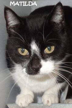 ADOPTED! Tag# 7708  Name is Matilda  Female-unsure of spay  Black/White  Approx 1 year  Very sweet girl! Located at 2396 W Genesee Street, Lapeer, Mi. For more information, please call 810-667-0236. Adoption hrs M-F 9:30-12:00 & 12:30-4:15, Weds 9:30-12:00 & Sat 9:00-2:00    https://www.facebook.com/267166810020812/photos/a.802966269774194.1073742130.267166810020812/802969343107220/?type=3&theater