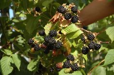 How to Feed Blackberry Bushes (4 Steps)