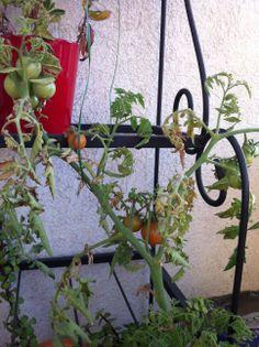 En una #maceta, en el departamento #Tomates #Huerto