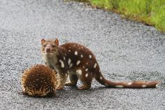 From Down Under -- quoll on the right (carnivorous marsupial) and Echidna (egg-laying mammal) by marj k