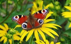 farfalla - Buscar con Google