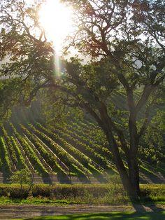 *Vineyard sunset~~    Sonoma,California