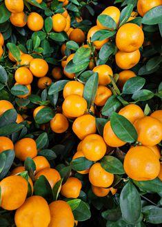 Tango Mandarin (Citrus reticulata Blanco) - Citrus Nursery Pot