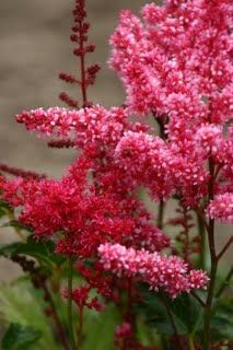 """Astilbe  Common Name: Bella Mix  Zones: 4-9  Plant Height: 24-36"""" inches  Flower Width: 3"""" inch flowerheads"""