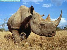 rinoceronte hd - Buscar con Google Pretoria, Rhinoceros, Fauna, Safari, Elephant, Gallery, Nature, Rhinos, Babys