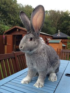 Giant Continental Chinchilla Rabbit - what a cutie