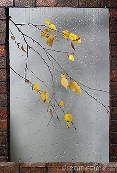 Birch Branch Under Rain Drops In Autumn