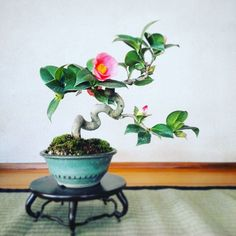 椿 秋雪Camellia japonica #japan #bonsai #盆栽 #小品盆栽