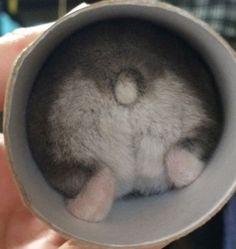 Hamsters Cute Butt