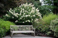 Hydrangea paniculata 'Tardiva'   10x10
