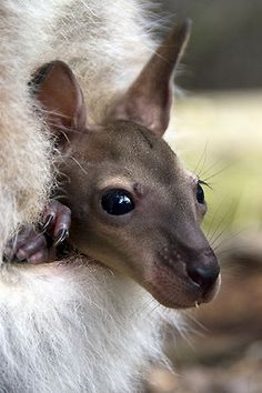 Kangaroo Joey / A female Eastern Grey kangaroo gives birth to a tiny joey that weighs about 2gm and is the size of a jellybean. It is pink, hairless and its eyes are closed. Before the birth, the mother kangaroo licks her fur to make a track so that the joey can climb up into her pouch. It's a long way for the newborn to climb using its small front legs.