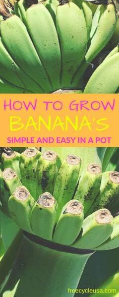 Growing Banana trees in pots is easy, if you're unable to grow it on the ground either due to lack of space or cold climate. Learn how to grow banana trees in this complete article. There are banana varieties that can withstand temperature drops and grows well in containers, popular especially among the fans of …
