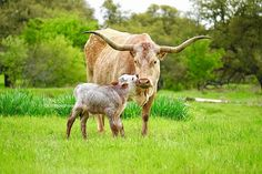 Texas longhorn bull calf with longhorn cow in Texas at gvrlonghorns.com Texas longhorns for sale in Texas near DFW, Austin, College Station, Stephenville, Waco area. Subscribe to our farm blog for up to date information on Texas longhorn cattle and pictures of longhorn cows and their Texas longhorn calves. #raisingcattle #Texasranch #Texaslonghorncattle Longhorn Cow, Longhorn Cattle, Cattle Farming, Livestock, Cute Baby Animals, Farm Animals, Cow Photos, Pictures, Calves For Sale