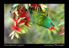 Scaly-Breasted Lorikeet by Colin Bushnell on Flickr