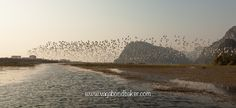 The egrets come in to roost in the late afternoon