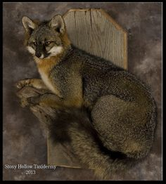 gray fox taxidermy mount                                                                                                                                                                                 More