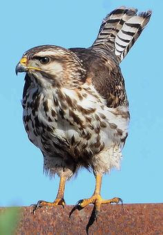 hawks--beautiful birds