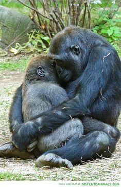 Aww...Gorilla Love <3