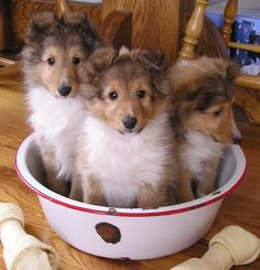 Three Sheltie Pups