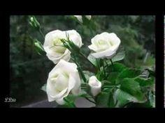Un milion de trandafiri ,pentru toti prietenii ! - YouTube Rose, Youtube, Flowers, Pink, Florals, Roses, Flower, Blossoms, Pink Roses