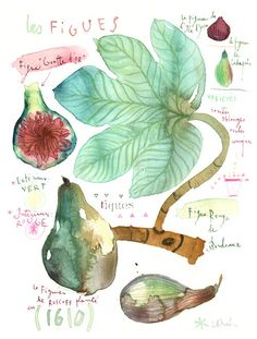 Lucile Prache's original watercolor painting of figs.
