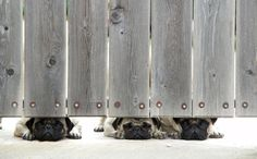 A trio of sleepy pugs peeping out under a gate. #pug #puglife