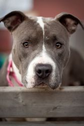 Lilac is a delightful one year old pit bull terrier. She has a stunning grey and white coat with a personality to match. Lilac is sweet, cuddly and soulful