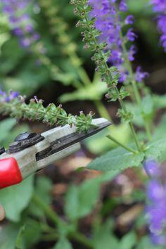sage - cutting off spent bloom