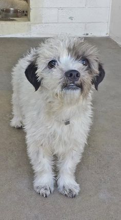 ADOPTED--CHANEL is just 8 months and she is super cute but super scared. please SHARE, a FOSTER would save this swete puppy. Thanks!  #A4814801 My name is Chanel and I'm an approximately 8 month old female shih tzu. I am not yet spayed. https://www.facebook.com/171850219654287/photos/pb.171850219654287.-2207520000.1428267528./392945004211473/?type=3&theater