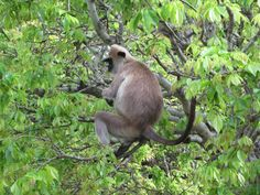 Grey langur monkeys inhabit the ancient city of Polonnaruwa, capital of Sri Lanka from the 10th to 14th centuries.