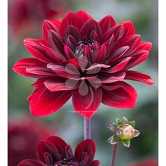 Buy Dahlia 'After Dusk' from Sarah Raven: A dark dahlia in the richest crimson. Super long-lasting in the garden and vase.